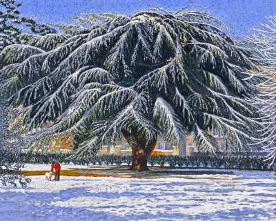 Cedar in Snow